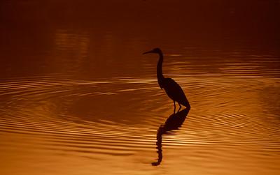 Reddish Egret Reflections