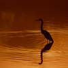 Reddish Egret Reflections