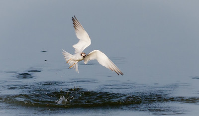 Forster's Tern Aflight