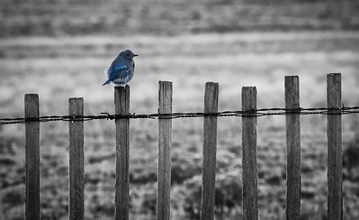 Bluebird on the Fence