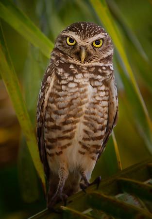 Hello, Burrowing Owl