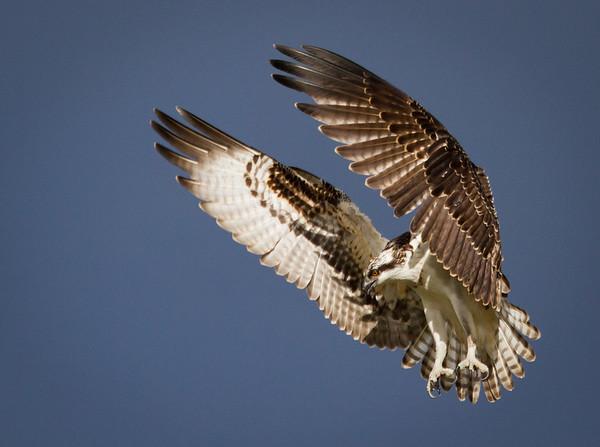 All Hail the Osprey!