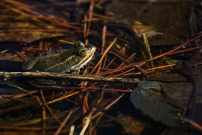 Carpenter Frog Camouflage