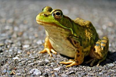 Frog-Eye