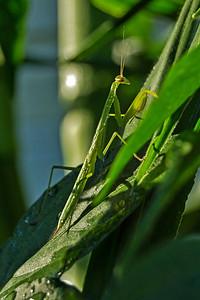 Monte the Mantis