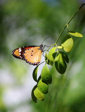 Common Indian Tiger Butterfly