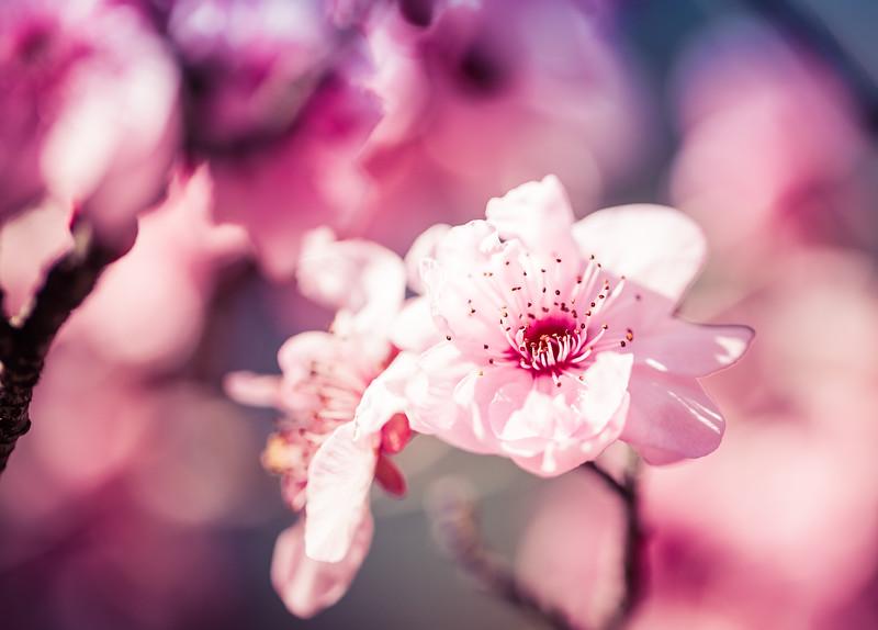 chery blosssom festival