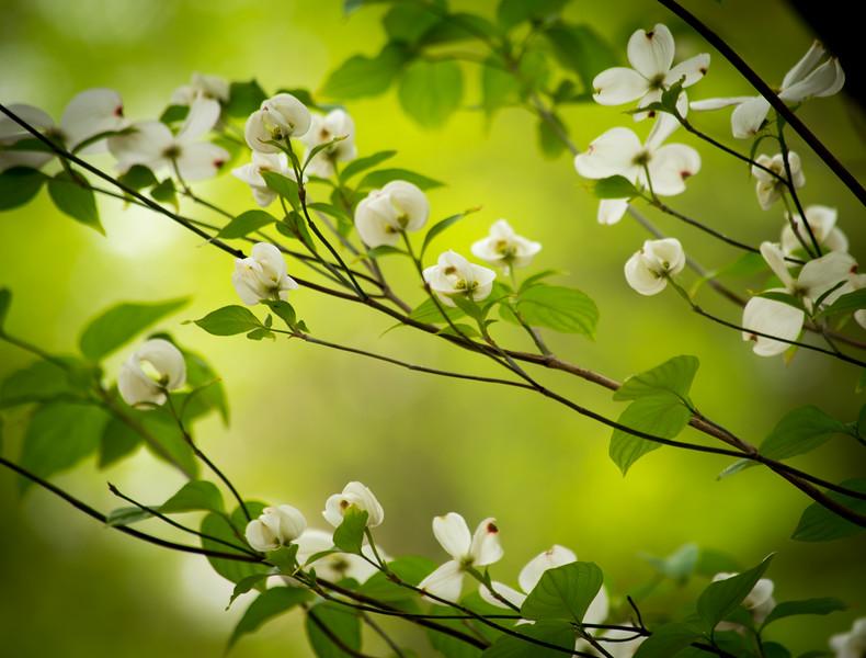 White Dogwood Blossoms