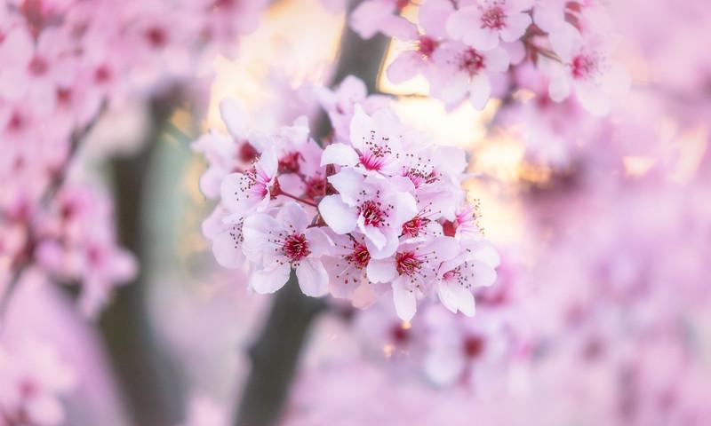 Flowering Plum Tree 3