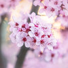 Flowering Plum Tree 3