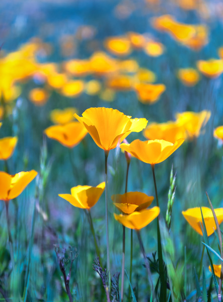 Poppies, Amador County