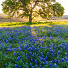 Lupine and Oak Sunrise, Butte County