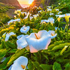 Doud Creek Backlit Calla Lilies