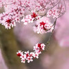 Flowering Plum Tree 2