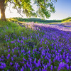 Lupine and Blue Oak Savanna Sunrise