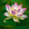 Lotus Flower and Bud, William Land Park