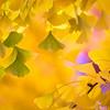 Autumn Gingko Bokeh