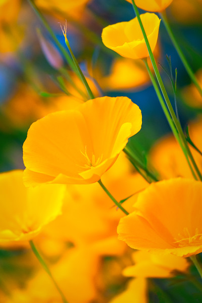 California Poppy Blue and Green Bokeh