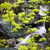 Green Maple Sapling and Waterfall