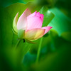 Green Bokeh and Lotus Flower