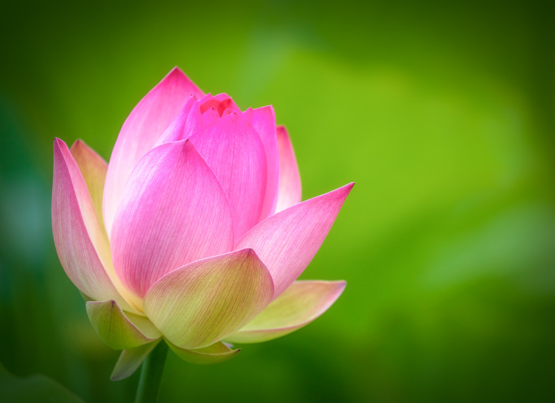 Vibrant Pink Lotus