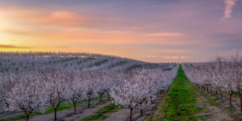 Almond Orchard Sunrise