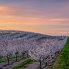 Almond Orchard Sunrise
