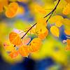 Colorado Autumn Foliage 2