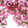 Capitol Park Flowering Dogwood 2