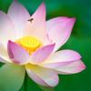 Bee Landing on Lotus