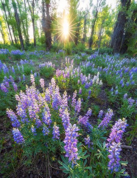Backlit Lupine and Cottonwoods, Grand Teton NP