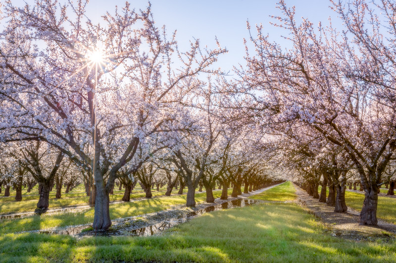 Almond Tree Sunburst Gaussian Blur