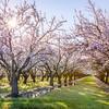 Almond Tree Sunburst Gaussian Blur