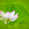 Water Lily Green Bokeh