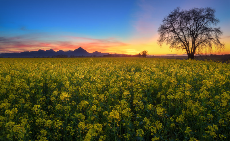Sutter Buttes Mustard Sunset