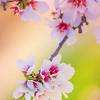 Yolo County Almond Blossom Bokeh 2