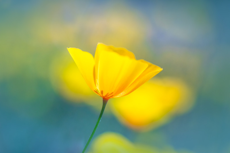 Single Poppy, Calaveras County 2