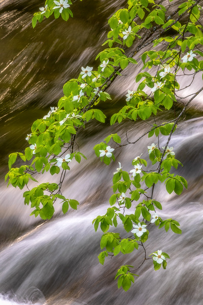 Dogwoods and Merced River Morning Glow