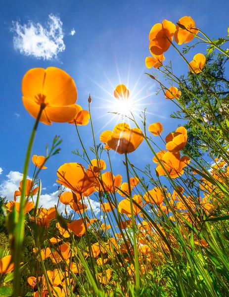California Sunshine, Amador County