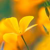 California Poppy Green Bokeh