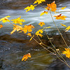 Maple Sapling and Rushing River