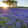 Folsom Lake Recreation Area Oak Sunrise
