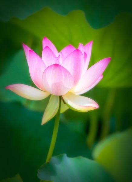 Lotus Reaching for the Sun