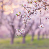 Almond Orchard Bokeh