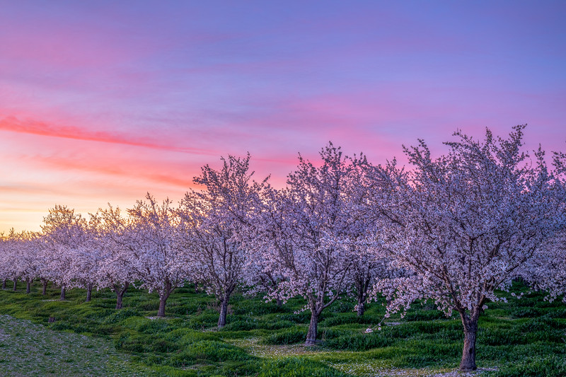 Sutter County Almond Orchard Sunset