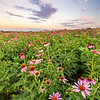Fields of Echinacea