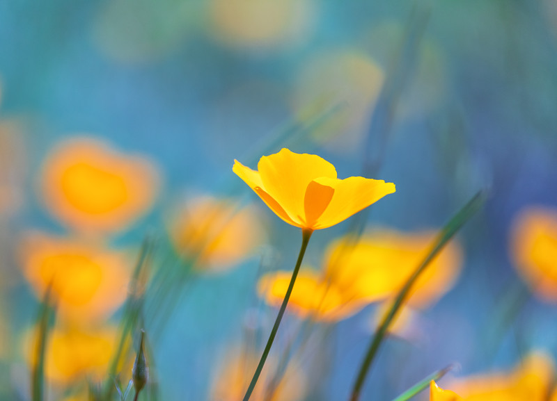 California Poppy Aqua Bokeh