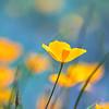 California Poppy Aqua Bokeh