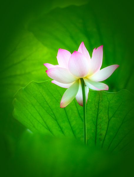Lotus and Fanned Leaves