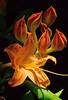 Flaming Azalea